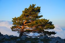 Free Lonely Pine Stock Photo - 5673930
