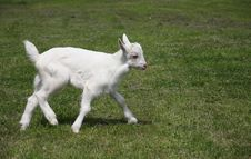 Free Little Goat Running Royalty Free Stock Photos - 5674078