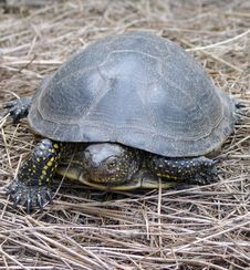 Free River Turtle Walk On Hay Royalty Free Stock Images - 5674419