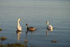 Free Swans Stock Photo - 5674680