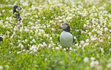 Free Puffin In Flowers Stock Photo - 5675110