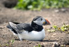 Free Puffin Laying Down Stock Photography - 5675192