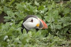 Free Puffin With Head Out Of Burrow. Royalty Free Stock Photos - 5675328