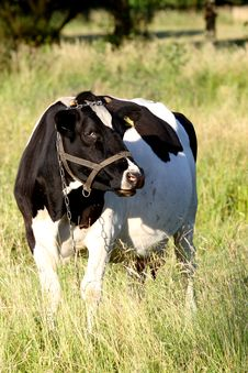 Free Black And White Cow Royalty Free Stock Photography - 5675427