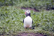 Free Puffin Ewith Sand Eels In It S Beak Stock Images - 5675464