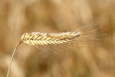Free Golden Wheat Field Royalty Free Stock Image - 5675596