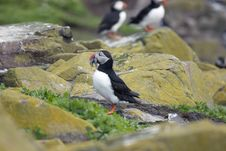 Free Puffin On Rocks With Sand Eels. Royalty Free Stock Images - 5675649