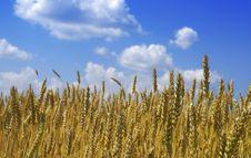 Free Wheat Stock Photo - 5675740