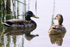 Free Ducks And Water Royalty Free Stock Photography - 5676077