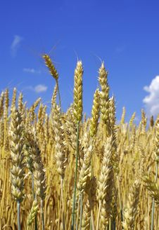 Free Wheat Royalty Free Stock Images - 5676089