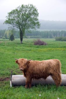 Free Scottish Highland Cattle Stock Photo - 5676120