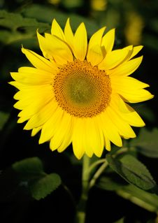 Free Sunflower Stock Images - 5676254