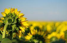 Free Sunflower Stock Image - 5676341