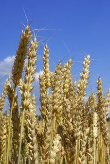 Free Wheat Stock Photography - 5676442