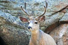 Free A Mule Deer, Odocoileus Hemionus Royalty Free Stock Photography - 5676507