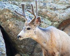 Free A Mule Deer, Odocoileus Hemionus, In Velvet Royalty Free Stock Photography - 5676557