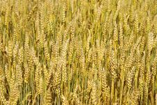 Free Wheat Royalty Free Stock Images - 5676639