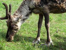 Free Reindeer Stock Photography - 5676882