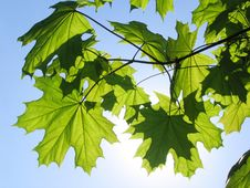 Free Maple Leaves Royalty Free Stock Images - 5677109