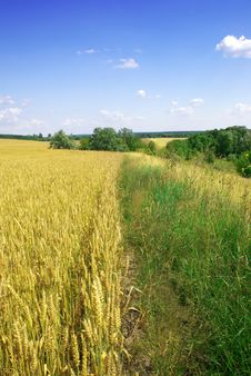 Free Wheat And Sky Royalty Free Stock Images - 5677319