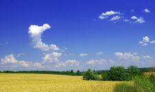 Free Wheat And Sky Stock Photography - 5677372