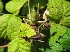 Free Locust 4 Stock Photography - 5677412
