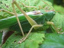 Free Locust 6 Stock Image - 5677441