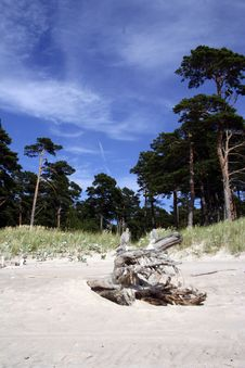 Free Seaside Trees And A Root. Royalty Free Stock Images - 5677489