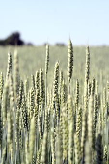 Grain Field Royalty Free Stock Photography