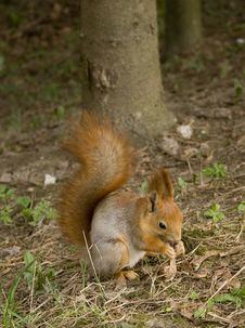 Free Squirrel Royalty Free Stock Photography - 5677637