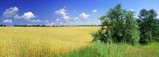 Free Wheat Royalty Free Stock Photo - 5677865