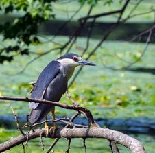 Free Black-crowned Night Heron On A Branch Royalty Free Stock Photography - 5678057