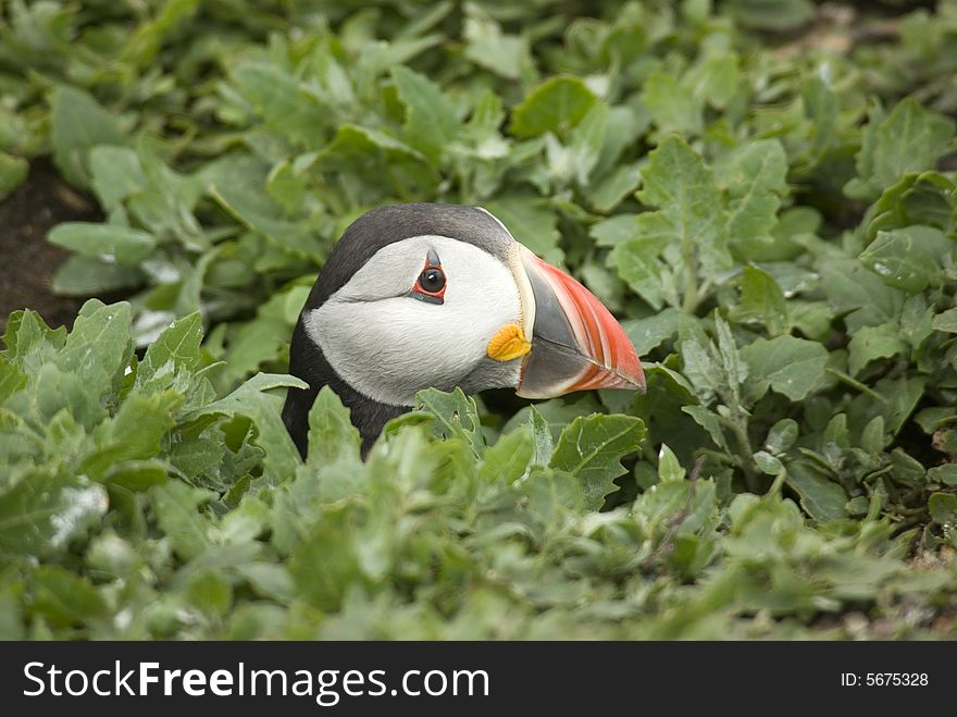 Puffin with Head out of Burrow.