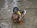 Free Brown Duck In Water Stock Image - 5680951