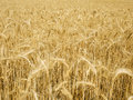 Free Grain Field 2 Stock Photos - 5683733