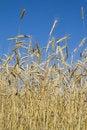 Free Wheat Stock Photo - 5686430