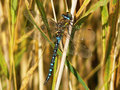 Free Blue Dragonfly Royalty Free Stock Photography - 5687497