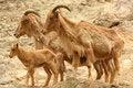 Free Mountain Goat Family Royalty Free Stock Photo - 5687765