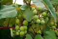 Free Grape Clusters Royalty Free Stock Image - 5688266