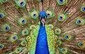 Free Peacock Eyes Stock Photography - 5688892