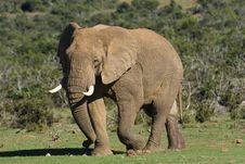 Free Dominant Elephant Stock Photo - 5680400