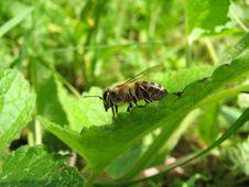 Free Bee Royalty Free Stock Photo - 5680425