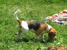 Free Beagle Royalty Free Stock Photo - 5680625