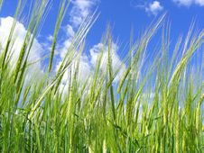 Free Green Barley Royalty Free Stock Images - 5680639