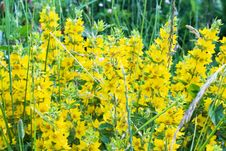Free Yellow Flowers Royalty Free Stock Photography - 5681207