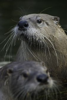 Free Otter Royalty Free Stock Photography - 5681257