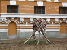 Free Giraffe Royalty Free Stock Image - 5681806