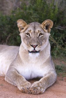 Free Cheeky Lioness Stock Photo - 5682330
