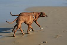 Free Dogs On Beach Royalty Free Stock Photo - 5683425