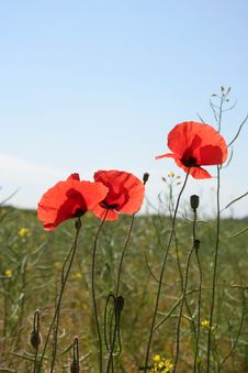 Free Poppies Royalty Free Stock Photography - 5683497